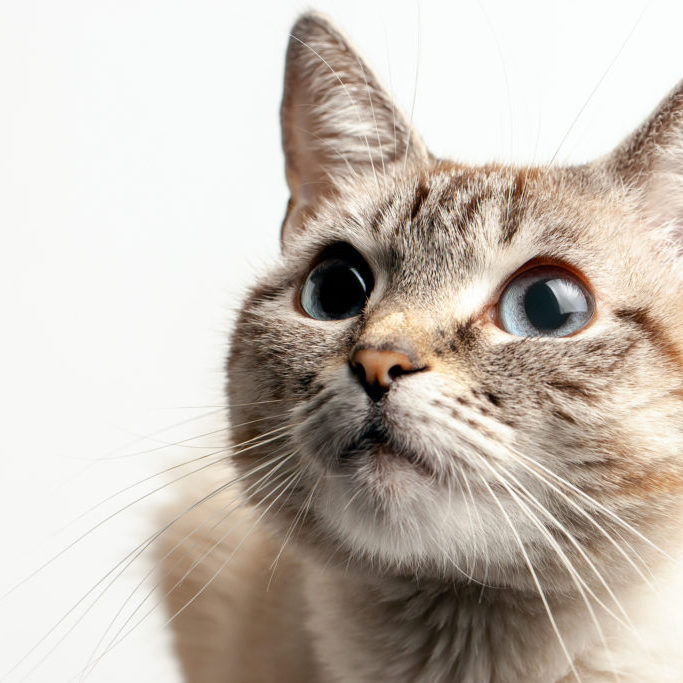 beautiful portrait of a cat with blue eyes. the cat looks up and waits. playful cat waiting for a toy. on a white background. for decoration and design